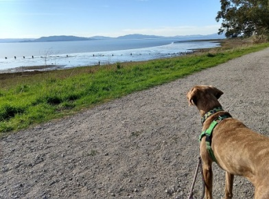 A medium-sized brown dog, standing on a gravel path, stares across green grass to the ocean beyond. Her back is to the camera and she's wearing a green harness.